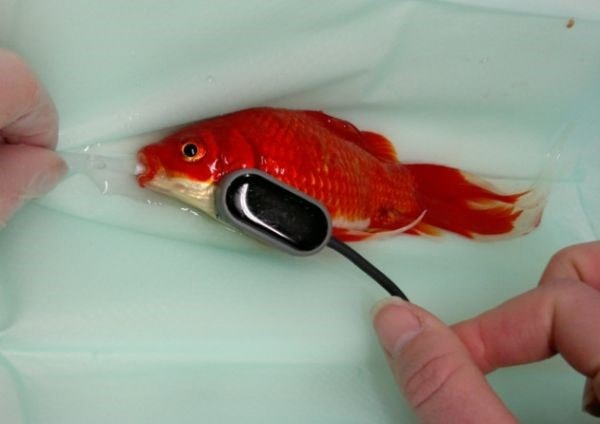 Surgery Cures Constipated Goldfish